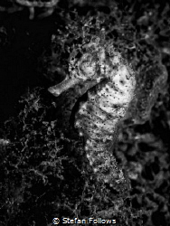 Night Rider. Common Seahorse: Hippocampus taeniopterus. K... by Stefan Follows