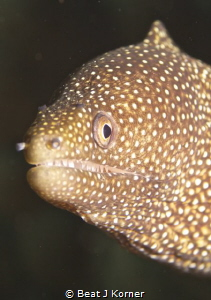 Tiny white mouth moray eel checks out the photographer. by Beat J Korner