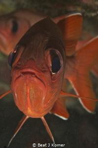 Black bar soldier fish portrait in Maui, Hawaii. by Beat J Korner