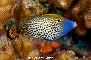 Fantail file fish by Stuart Ganz
