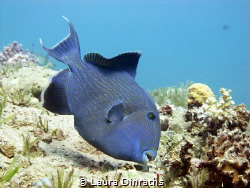 Blue triggerfish picking for food by Laura Dinraths