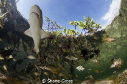 A baby lemon shark patrols the shallows of a mangrove cre... by Shane Gross