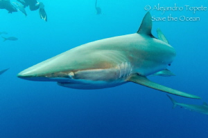 Silky Shark close, Gardens of the Queen Cuba by Alejandro Topete