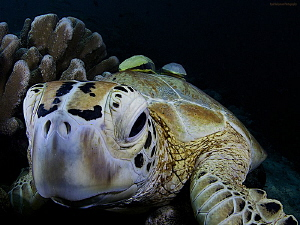 Turtle with two bodyguards by Iyad Suleyman