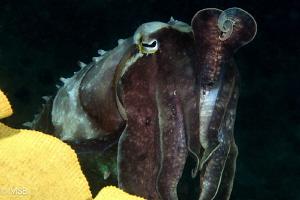 Cuttlefish pose. by Mehmet Salih Bilal
