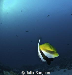 Angelfish by Julio Sanjuan