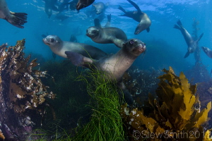 Sea Lions playing by Stew Smith