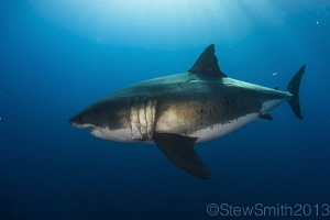 Female Great White of Guadalupe by Stew Smith