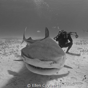 Tiger shark photography :-) by Ellen Cuylaerts