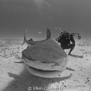 Tiger shark photography :-) by Ellen Cuylaerts