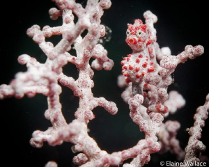 Wakatobi pygmy sea horse - always a joy to see on any dive. by Elaine Wallace