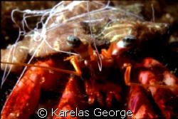 crab,Peloponnese,Greece,Nikonos V macro1:3 by KARELAS GEORGE