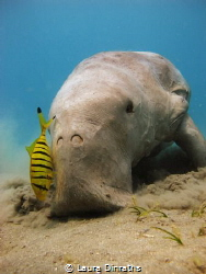 Dugong dugon feeding on seagrass, accompanied by juvenile... by Laura Dinraths