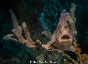 frogfish hiding by Marc Van Den Broeck
