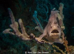 frogfish hiding by Marc Van Den Broeck