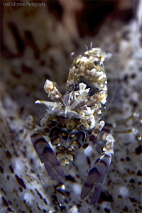 Phyllognathia simplex shrimp. Very rare and camouflaged s... by Iyad Suleyman