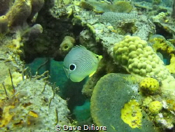 Butterfly fish on the wreck of the Wilaurie by Dave Difiore