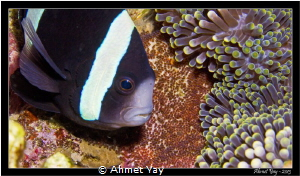 Anemone, anemone fish and her babies... by Ahmet Yay