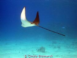 """""""FLYING AWAY"""" Aetobatus narinari by Cinzia Bismarck"""