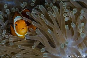 Clownfish in Anemone by Henrik Gram Rasmussen
