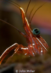 Durban hinge-beak shrimp close up by John Miller