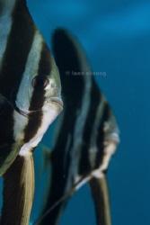 Batfish by Taco Cheung