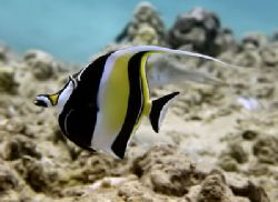 Moorish Idol...Generally a rather bashful fellow. by Glenn Poulain