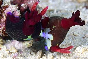 Ndibranch Mating by Iyad Suleyman