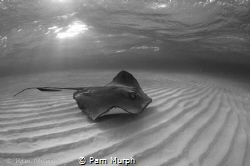 Rays at Dawn. /   A dawn snorkel at Sting Ray Sandbar is ... by Pam Murph