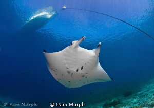 My First Manta. /  Each time I go into the ocean, I look ... by Pam Murph