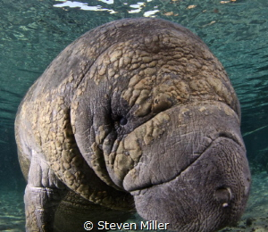 Friendly Manatee in 3 sisters Florida by Steven Miller