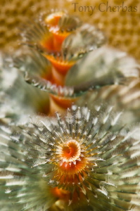 Merry Christmas Tree Worm! by Tony Cherbas