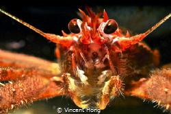 Squat Lobster. by Vincent Hong