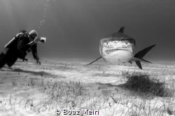 A Female Tiger Shark by Boaz Meiri