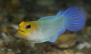Yellowhead Jawfish looking around for a mate by Suzan Meldonian