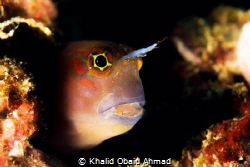 Its Goby who says to me hello evrey dive by Khalid Obaid Ahmad