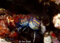 Mating Manderine Fish on Atmosphere Resorts house reef. T... by Jim Dodd