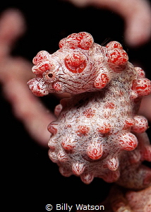 Aqua Equine -- Pygmy Seahorse by Billy Watson