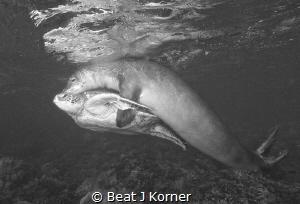 Love at first sight? Rare Hawaiian Monk Seal 'hugs' a Gre... by Beat J Korner