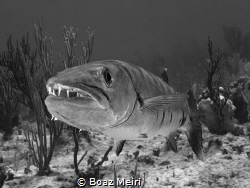 Barracuda Head-shot by Boaz Meiri