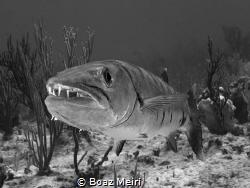 Barracuda Head-shot by Boaz Meiri