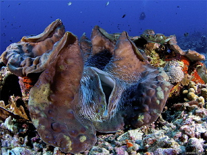 Giant Clam about 1M. by Iyad Suleyman