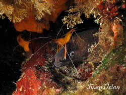 Cleaning time or riding a morray eel :) by Sinan Oztan