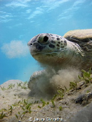 A green turtle (Chelonia mydas) eating seagrass and breat... by Laura Dinraths