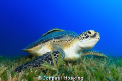 Turtle looks up from feeding by Jonpaul Hosking