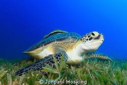 Turtle looks up from feeding by Jonpaul Hosking
