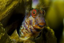 Are you talking to me? Seaweed blenny in Venezuela. by Luiz Rocha