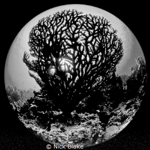 Brain Coral in black and white by Nick Blake