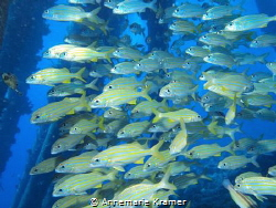 School of Smallmouth Grunts (Haemulon chrysargyreum) unde... by Annemarie Kramer