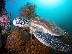 Resting blue-eyed turtle by Iyad Suleyman